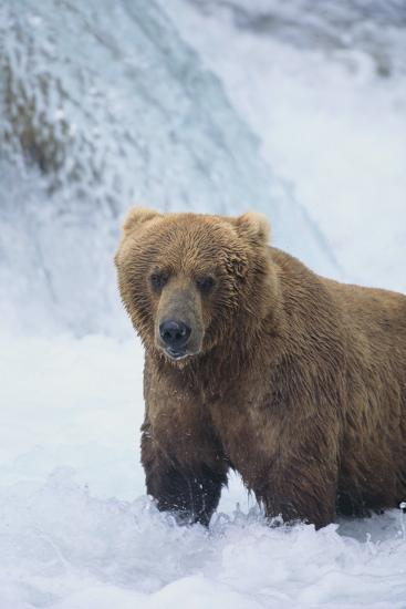 Brown Bear Standing in River-DLILLC-Photographic Print