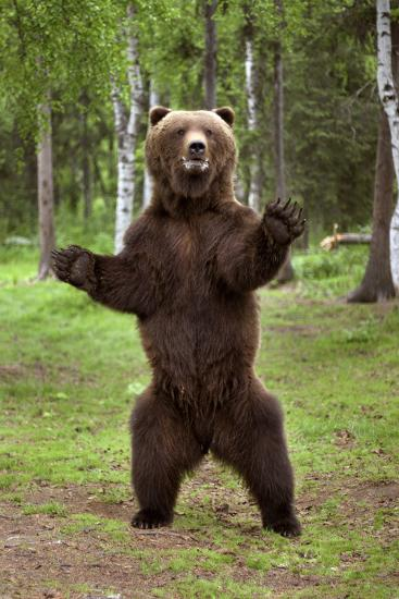 Brown Bear Standing on Hind Legs Southcentral Alaska Summer-Design Pics Inc-Photographic Print