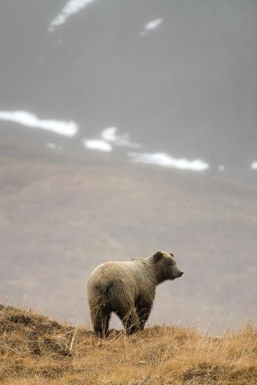 Brown Bear Standing on Ridge in Rain at Highway Pass Denali National Park Interior Alaska Autumn-Design Pics Inc-Photographic Print