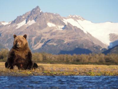 Brown Bear Stretching, Katmai National Park, Alaska, USA-Steve Kazlowski-Photographic Print
