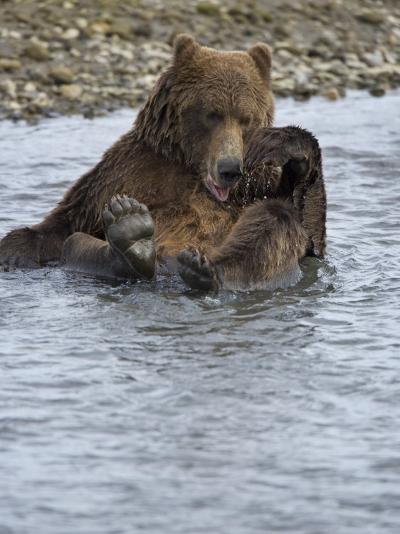 Brown Bear Taking a Bath in a River-Michael Melford-Photographic Print