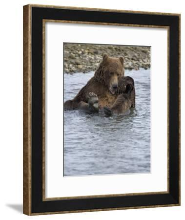 Brown Bear Taking a Bath in a River-Michael Melford-Framed Photographic Print