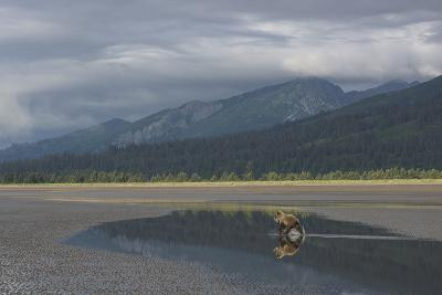 Brown Bear, Ursus Arctos, at Silver Salmon Creek Lodge in Lake Clark National Park-Charles Smith-Photographic Print