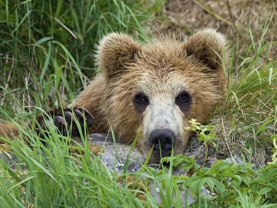 Brown Bear (Ursus Arctos) Cub, Kamchatka, Russia-Sergey Gorshkov/Minden Pictures-Photographic Print