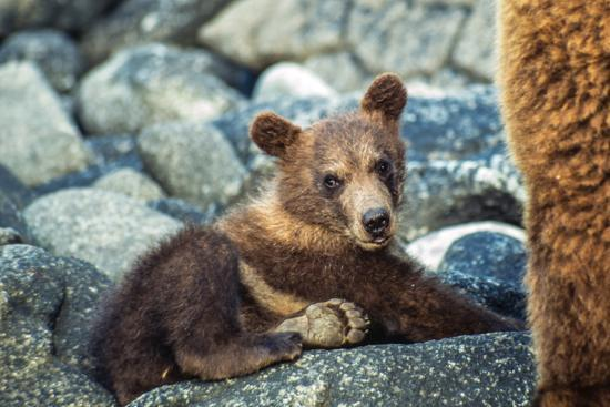 Brown Bear, Ursus Arctos, Cub Resting on a Rock in Katmai National Park and Preserve-Tom Murphy-Photographic Print