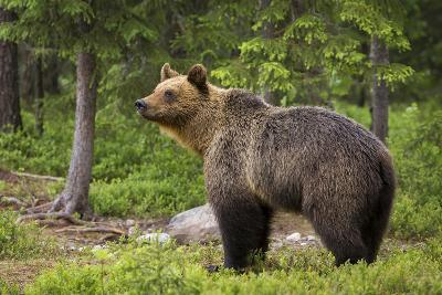 Brown Bear (Ursus Arctos), Finland, Scandinavia, Europe-Andrew Sproule-Photographic Print