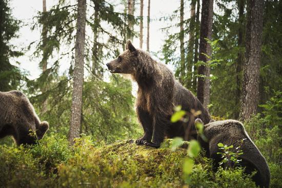 Brown Bear (Ursus Arctos), Finland, Scandinavia, Europe-Janette Hill-Photographic Print