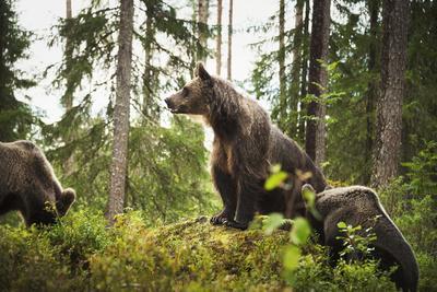 https://imgc.artprintimages.com/img/print/brown-bear-ursus-arctos-finland-scandinavia-europe_u-l-q1boh5p0.jpg?p=0