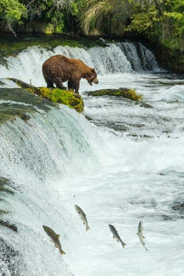 Brown Bear, Ursus Arctos, Fishing for Sockeye Salmon at Brooks Falls-Ralph Lee Hopkins-Photographic Print