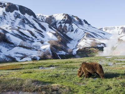 Brown Bear (Ursus Arctos) Foraging, Kamchatka, Russia-Sergey Gorshkov/Minden Pictures-Photographic Print