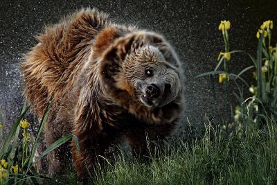 Brown-Bear, Ursus Arctos, Fur, Wet, Shakes-Ronald Wittek-Photographic Print