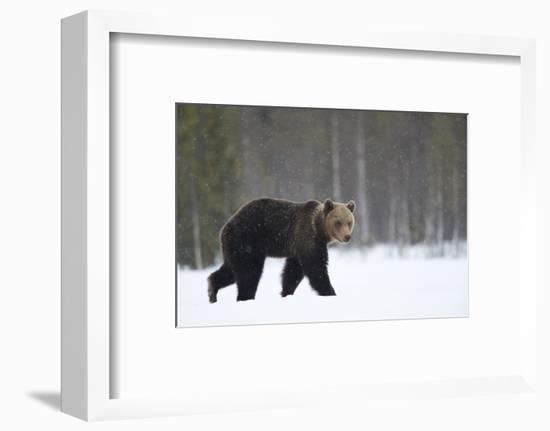 Brown Bear (Ursus arctos) in the snow, Finland, April-Danny Green-Framed Photographic Print