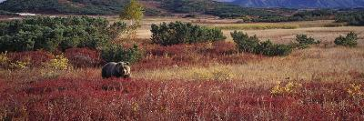 Brown Bear (Ursus Arctos) Kamchatka, Russia-Sergey Gorshkov/Minden Pictures-Photographic Print