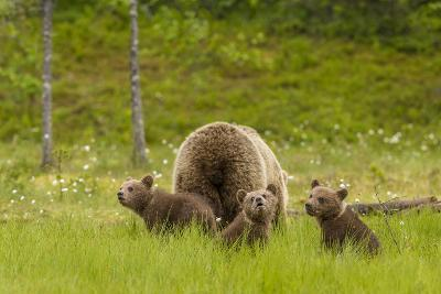 Brown Bear (Ursus Arctos) Mother and Cubs, Finland, Scandinavia, Europe-Andrew Sproule-Photographic Print