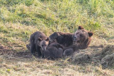 Brown Bear, Ursus Arctos, with its Cub Resting in Grass-Tom Murphy-Photographic Print
