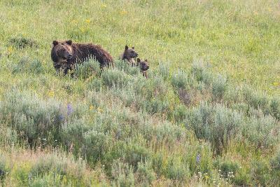 Brown Bear, Ursus Arctos, with its Two Cubs-Tom Murphy-Photographic Print
