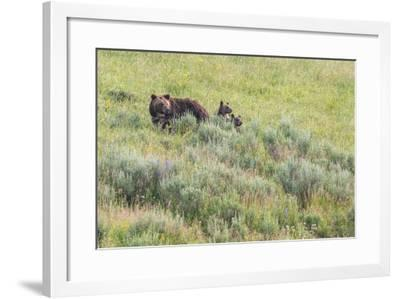 Brown Bear, Ursus Arctos, with its Two Cubs-Tom Murphy-Framed Photographic Print