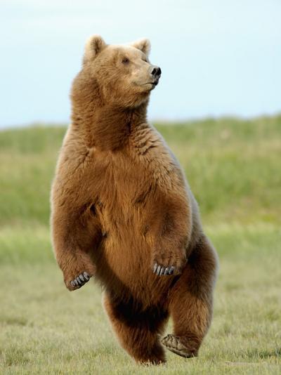 Brown Bear (Ursus Arctos)-Tom Walker-Photographic Print