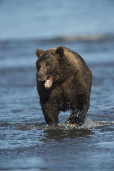 Brown Bear Wading in Water at Silver Salmon Creek Lodge in Lake Clark National Park-Charles Smith-Photographic Print