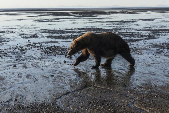 Brown Bear Walking at Silver Salmon Creek Lodge in Lake Clark National Park-Charles Smith-Photographic Print