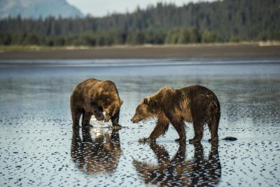 Brown Bear Walking at Silver Salmon Creek Lodge in Lake Clark National Park-Charles Smith-Photographic Print
