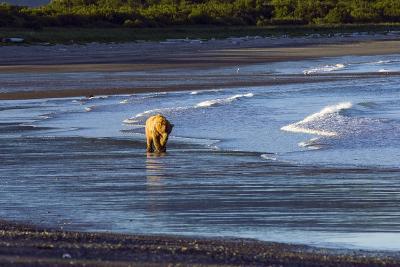 Brown Bear Walks Along the Shoreline in the Kaguyak Area of Katmai National Park, Alaska-Design Pics Inc-Photographic Print