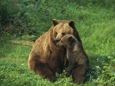 Brown Bear with Cub, Bayerischer Wald National Park, Germany-Norbert Rosing-Photographic Print