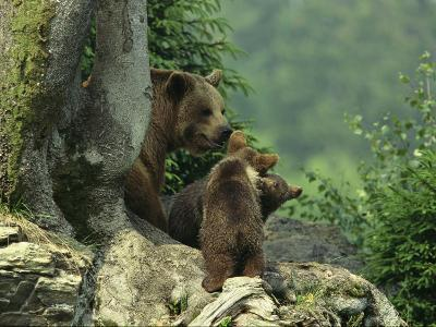 Brown Bear with Cubs, Bayerischer Wald National Park, Germany-Norbert Rosing-Photographic Print