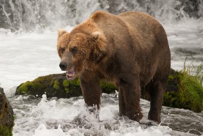 Brown Bear Yawns beside Green Mossy Rock-Nick Dale-Photographic Print