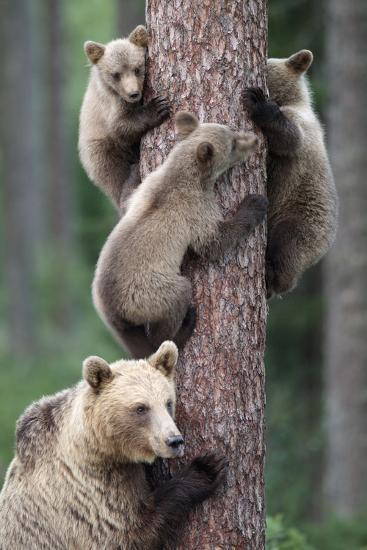 Brown Bear Young Bears Clinging on to Tree--Photographic Print