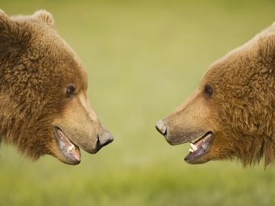 Brown Bears Facing Off at Hallo Bay-Paul Souders-Photographic Print