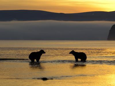 Brown Bears in Water at Sunrise, Kronotsky Nature Reserve, Kamchatka, Far East Russia-Igor Shpilenok-Photographic Print