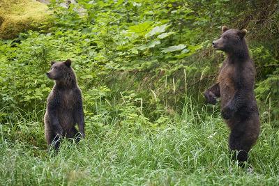 Brown Bears Standing on Baranof Island--Photographic Print