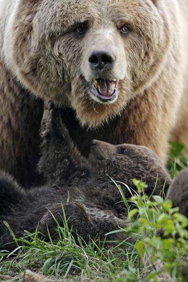 Brown-Bears, Ursus Arctos, Young, Dam-Ronald Wittek-Photographic Print