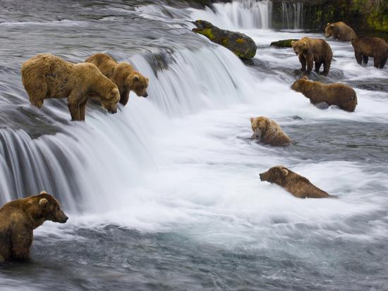 Brown Bears Wait for Sockeye Salmon to Jump at Brooks Falls-Michael Melford-Photographic Print