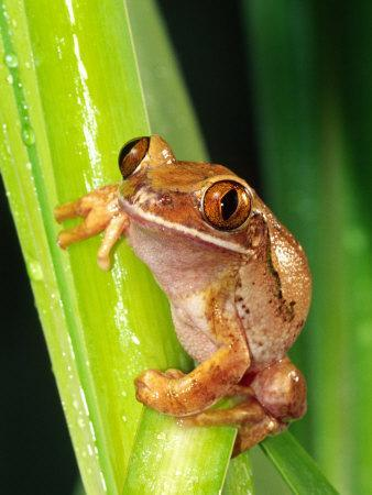https://imgc.artprintimages.com/img/print/brown-big-eye-tree-frog-native-to-tanzania_u-l-p2tqca0.jpg?p=0