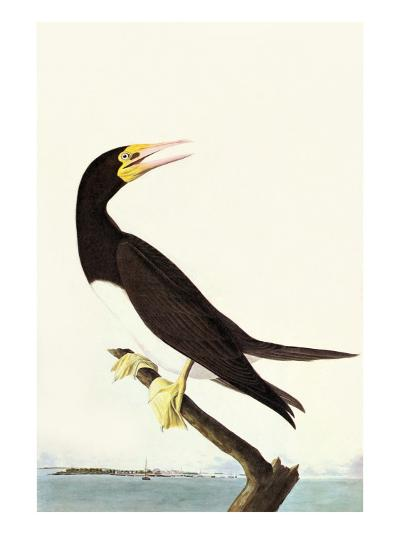 Brown Booby-John James Audubon-Art Print