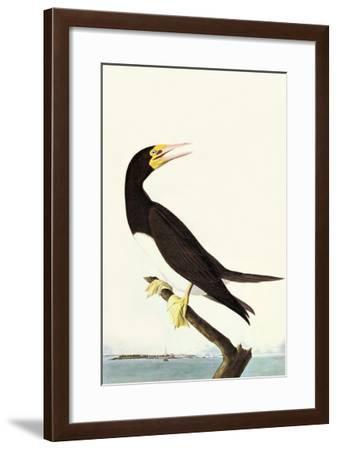 Brown Booby-John James Audubon-Framed Art Print