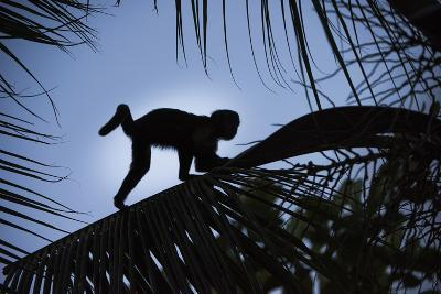 Brown Capuchin, Guyana-Pete Oxford-Photographic Print