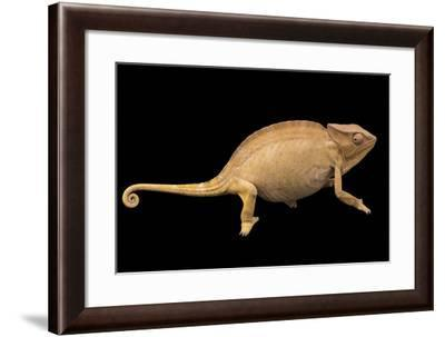 Brown color phase of a female Usambara three-horned chameleon from a private collection.-Joel Sartore-Framed Photographic Print