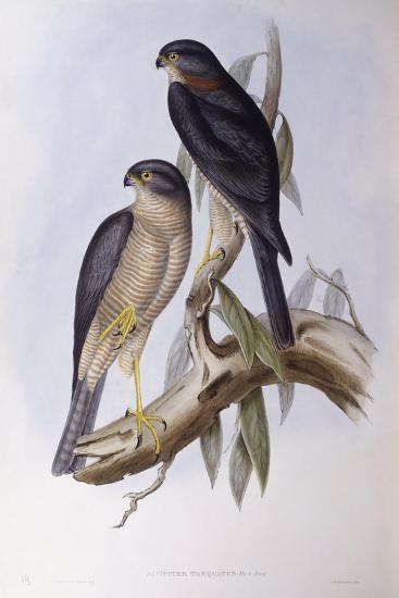 Brown Dipper (Cinclus Pallasii)-John Gould-Giclee Print