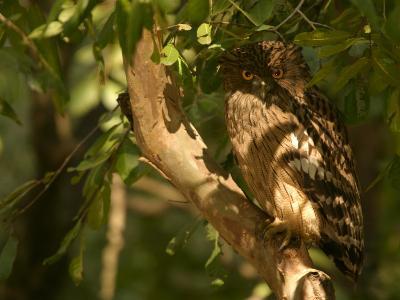 Brown Fish Owl, Owl Perched on Branch in Warm Dappled Light, Madhya Pradesh, India-Elliot Neep-Photographic Print