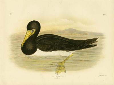 Brown Gannet, 1891-Gracius Broinowski-Giclee Print