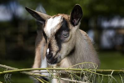 Brown Goat Kid at Fence in Garden--Photographic Print