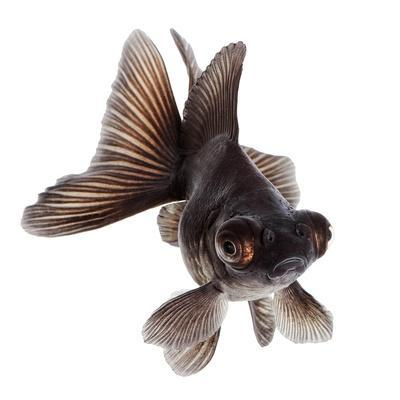 https://imgc.artprintimages.com/img/print/brown-goldfish-isolated-on-white-background-without-shadow_u-l-q1a23220.jpg?p=0