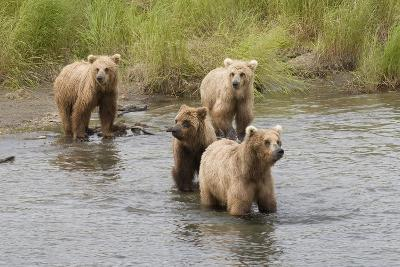 Brown(Grizzly) Bear Mother and Two Year Old Cubs-Hal Beral-Photographic Print