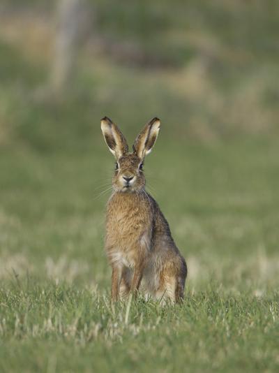 Brown Hare, Adult Alert, Scotland-Mark Hamblin-Photographic Print