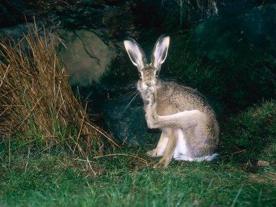 https://imgc.artprintimages.com/img/print/brown-hare-grooming-uk_u-l-q10qwcn0.jpg?p=0