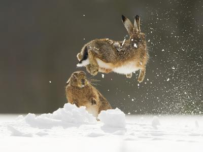 Brown Hare (Lepus Europaeus) Adult Female (Mid-Air) Leaping Out of Her Form in Snow-Andrew Parkinson-Photographic Print