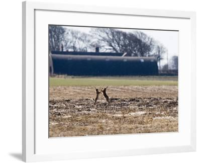 Brown Hares, Pair of Brown Hares Boxing Close to Farm Buidlings, Lancashire, UK-Elliot Neep-Framed Photographic Print